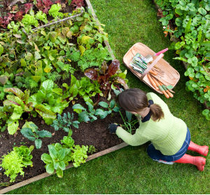 Birds eye view of a woman gardener weeding an organic vegetable garden with a hand fork.